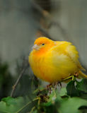 Yellow canary bird Royalty Free Stock Photos