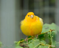 Yellow canary bird Royalty Free Stock Images
