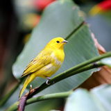 Yellow Canary Bird. A Yellow Canary Song Bird Resting in Garden Royalty Free Stock Image