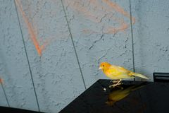 Yellow canary bird on the table. In restaurant Stock Image