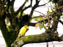 Yellow canary bird on tree branch in aviary in Florida Stock Photos