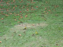 Yellow Canary Birds Playing in the Grass. Big Island, Naalehu, Hawaii Royalty Free Stock Image