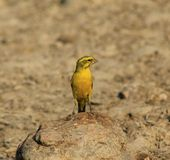 Yellow Canary - Gold from Super Africa Royalty Free Stock Photography