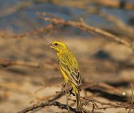 Yellow Canary - Gold from Super Africa Stock Photos