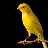 Yellow canary on its perch. In front of a black background Royalty Free Stock Photography