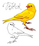 Yellow Canary. The yellow Canary.  Monochrome and color version. Hand-drawn illustration. Vector Royalty Free Stock Photo
