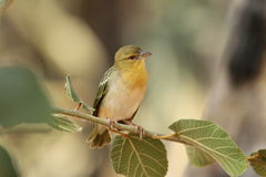 Yellow Canary namibia Royalty Free Stock Images