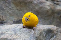 Yellow canary. Parrot on the stone Stock Image