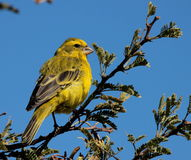 Yellow canary perched on a green tree Stock Image