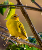 Yellow Canary resting. On a branch Royalty Free Stock Photo
