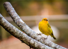 Yellow Canary resting. On a branch Royalty Free Stock Photography