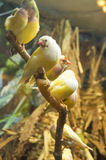 Yellow canary - Serinus canari Royalty Free Stock Images