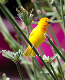Yellow canary Serinus canaria Stock Photos