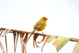 Yellow canary Serinus canaria Royalty Free Stock Photo