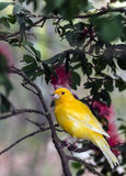The yellow Canary, (Serinus canaria domestica. ) is a domesticated form of the wild Canary, a small songbird in the finch family originating from the Stock Images
