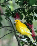 The yellow Canary, (Serinus canaria domestica Stock Photos
