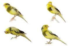 Yellow canary Serinus canaria isolated on white. Background Stock Image