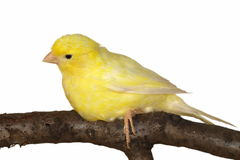 Yellow canary Serinus canaria isolated on white. Background Royalty Free Stock Image