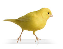 Yellow canary - Serinus canaria on its perch Stock Photography