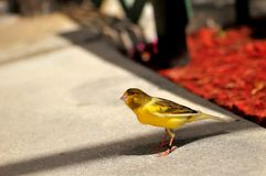 Yellow Canary (Serinus flaviventris) Stock Photo