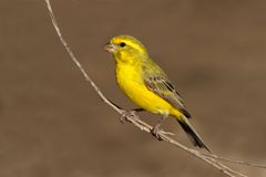Yellow canary. (Serinus mozambicus) perched on a branch, Kalahari, South Africa Royalty Free Stock Photography