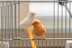 Yellow Canary sitting on open cage door, shallow depth of field. Yellow canary bird sitting on an open cage door on a light off-white background, shallow depth stock image