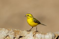 Yellow canary - South Africa royalty free stock photo