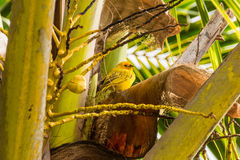 Yellow canary. A yellow canary on a tree in the Hawaii Royalty Free Stock Photos
