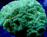 Yellow Candy Cane Coral Stock Photos