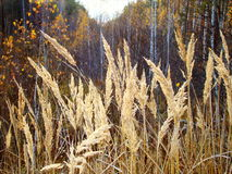 Yellow cane. The yellow grass grows on the bank of the forest lake Stock Images