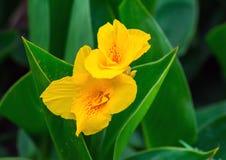 Yellow Canna Stock Photography