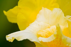 Yellow Canna close-up Royalty Free Stock Image