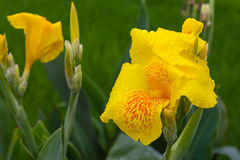 Yellow canna dew Stock Photos