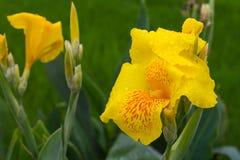 Yellow canna dew Stock Photos