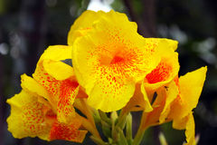 Yellow canna flower. Royalty Free Stock Photo