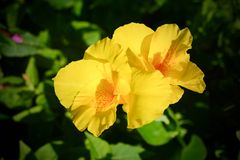 Yellow canna flower in garden Royalty Free Stock Image