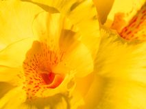 Yellow canna flower in garden Stock Image