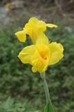 Yellow Canna flower Stock Images