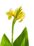 Yellow canna flower Royalty Free Stock Photo