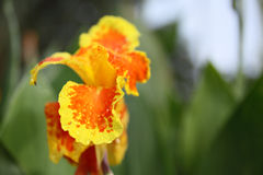 Yellow canna flower shallow depth of field Stock Images