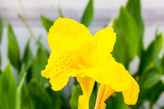 Yellow canna flowers Royalty Free Stock Images
