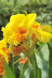 Yellow canna lily stock images