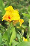 Yellow canna lily Royalty Free Stock Photos