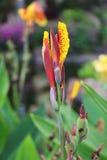 Yellow Canna lily bud Stock Photo
