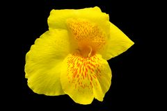 Yellow canna lily flowers on black background. Clipping path Royalty Free Stock Images