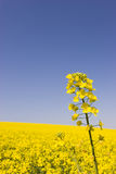 Yellow canola against blue sky Stock Photo
