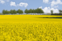 Yellow canola field Royalty Free Stock Photo
