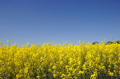 Yellow canola field Stock Photography