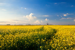 Yellow canola field, blue sky and windmill Royalty Free Stock Photo