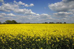 Yellow canola field with clouds in sky Stock Photo